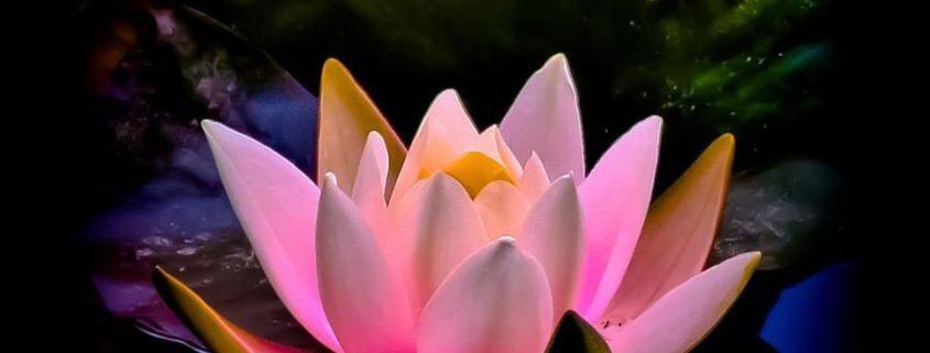 lindo-lotus